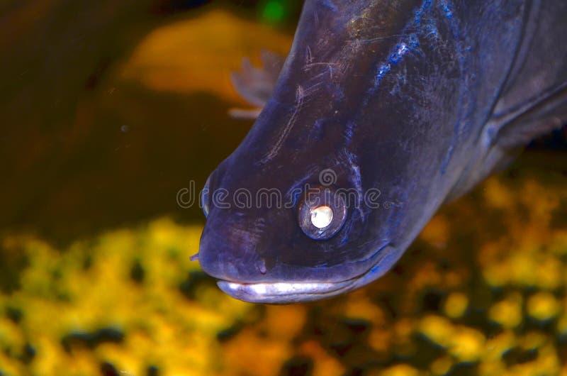 Coltello dell'indiano del pesce fotografia stock libera da diritti