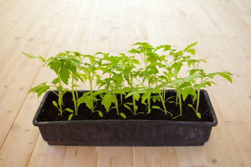 Coltivando e piantando i pomodori con le loro proprie mani Semenzali del pomodoro immagini stock