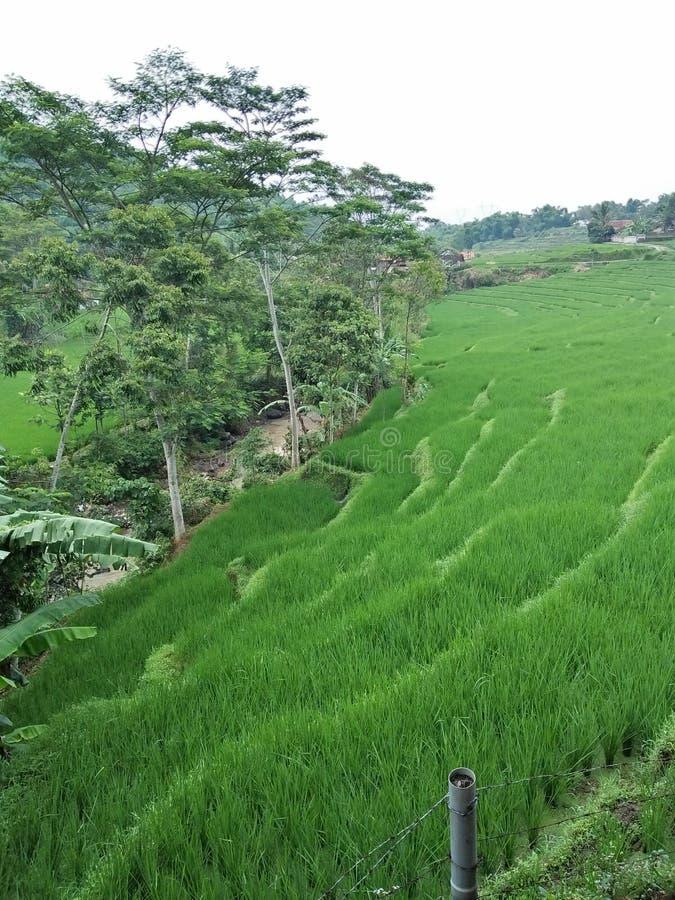 Coltivando prima di un riso fotografia stock