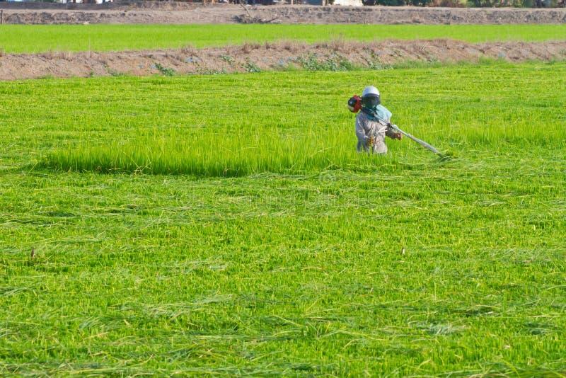 Coltivatore che lavora nel giacimento del riso immagine stock