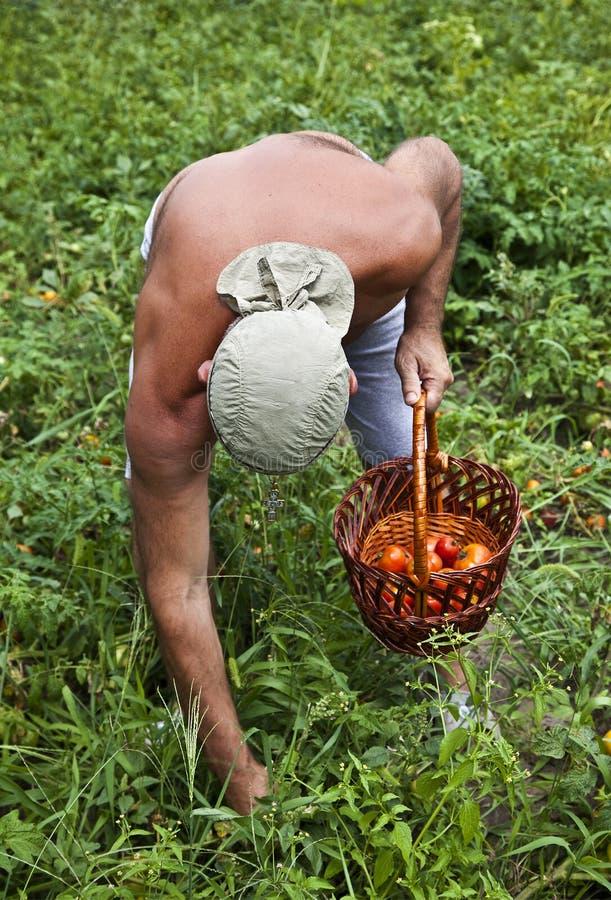 Coltivatore che raccoglie verdura fotografia stock libera da diritti