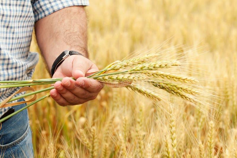 Coltivatore con frumento in mani fotografia stock libera da diritti
