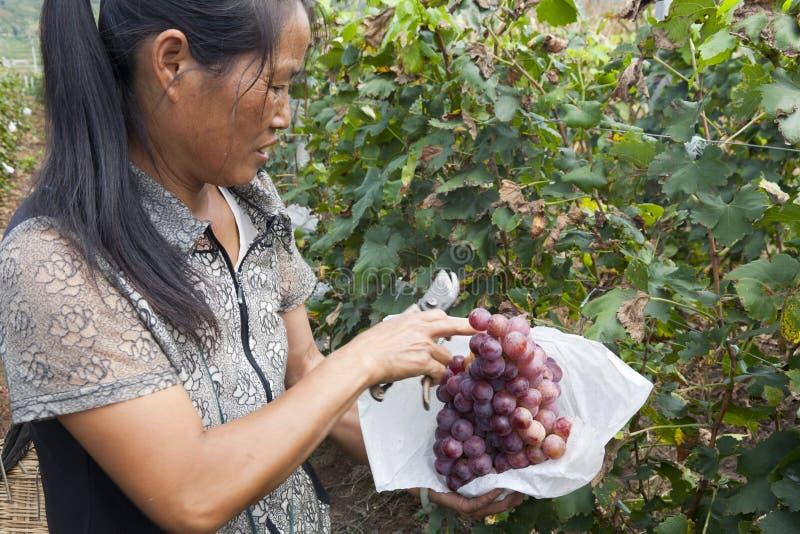 Coltivatore dell'uva che raccoglie l'uva fotografia stock