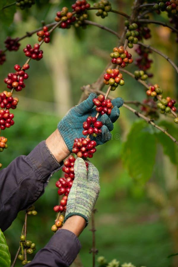 Coltivatore di caffè che raccoglie le bacche di caffè mature robusta per la raccolta fotografia stock libera da diritti