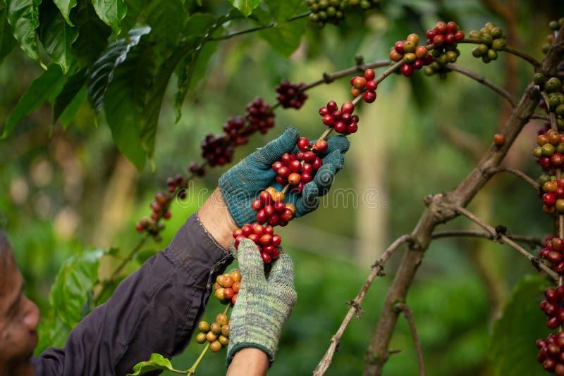 Coltivatore di caffè che raccoglie le bacche di caffè mature robusta per la raccolta fotografie stock