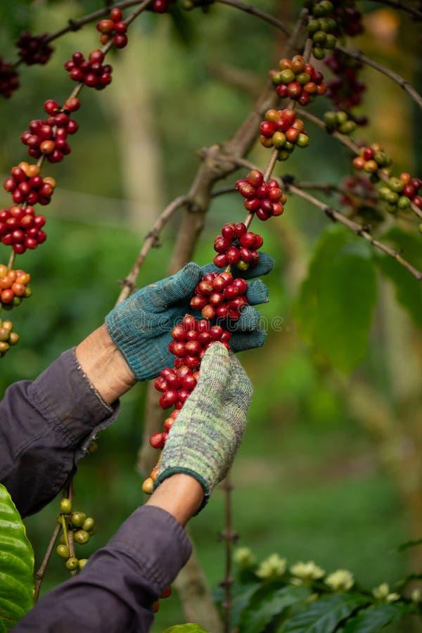 Coltivatore di caffè che raccoglie le bacche di caffè mature robusta per la raccolta immagine stock libera da diritti