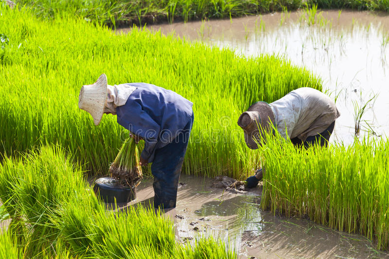 Coltivatore nel giacimento del riso fotografie stock libere da diritti