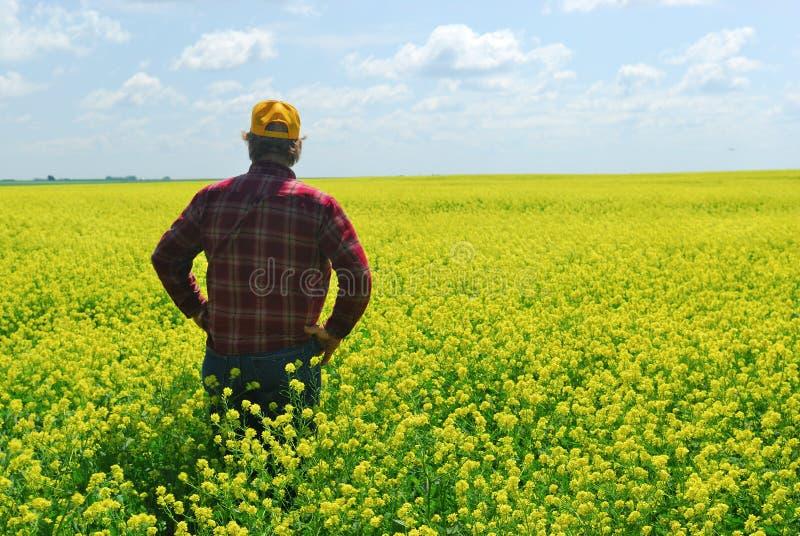 Coltivatore nel raccolto di Canola fotografia stock