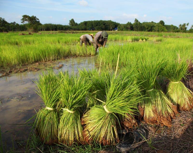 Coltivatore tailandese che pianta sul terreno coltivabile del risone immagine stock libera da diritti