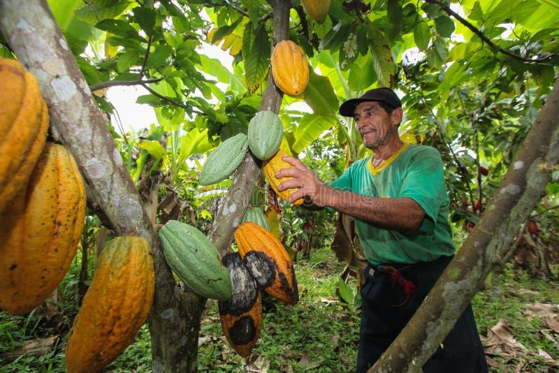 Coltivatori del cacao in foresta pluviale nel Perù fotografie stock libere da diritti