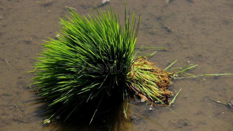 Coltivazione aspettante della pianta di riso fotografie stock libere da diritti