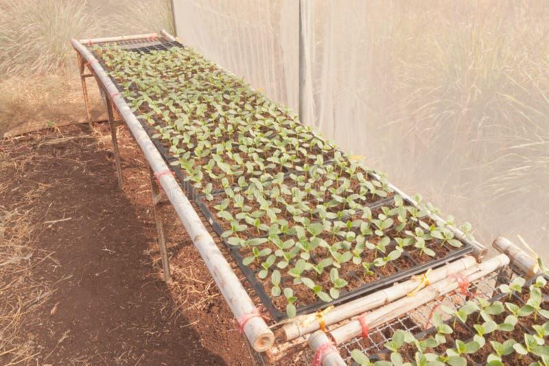 Coltivazione degli alberelli giapponesi del melone for Melone coltivazione