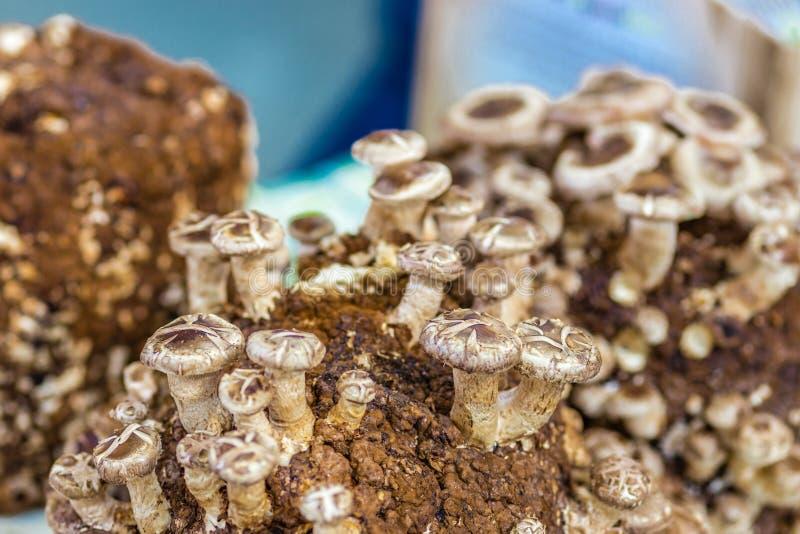 Coltivazione dei funghi fotografia stock