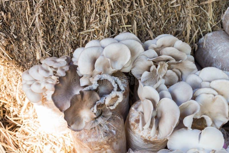Coltivazione dei funghi di ostrica sul sacchetto di plastica fotografia stock