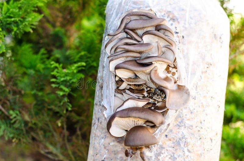 Coltivazione dei funghi di ostrica sul substrato fotografie stock libere da diritti
