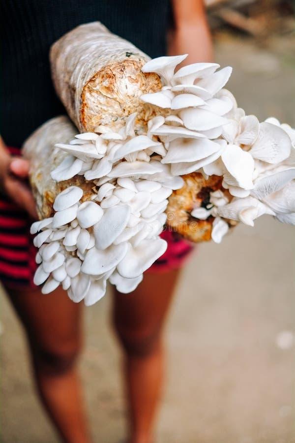 Coltivazione del fungo che cresce nella coltivazione del fungo dell'azienda agricola nel fungo fresco delle aziende agricole orga fotografia stock libera da diritti
