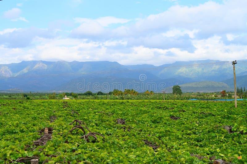 Coltivazione dell'uva - una vigna con fondo delle colline - Tamilnadu, India fotografia stock