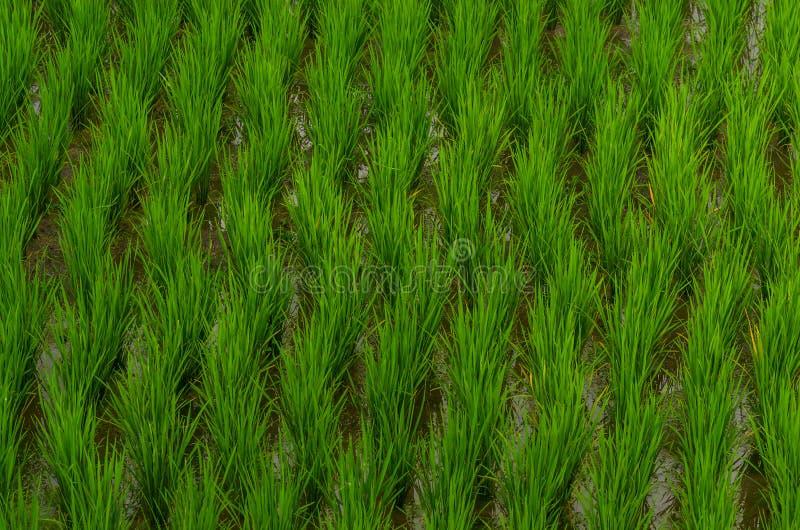 coltivazione delle piante del riso fotografia stock