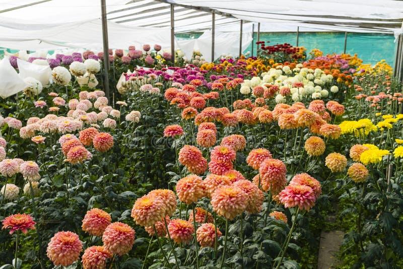Coltivazione di fiori di Dahlia fotografie stock