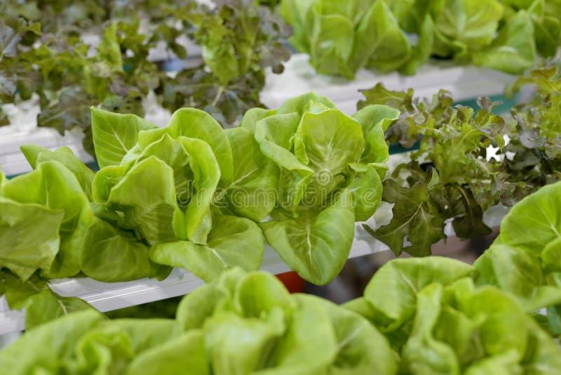 Coltivazione Soilless delle verdure fotografia stock