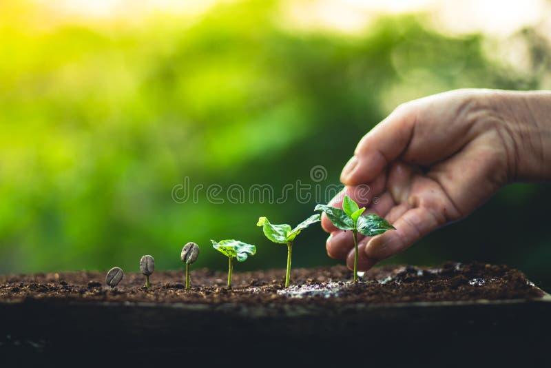 Coltivi la cura della mano della pianta del caffè della pianta dei chicchi di caffè e l'innaffiatura degli alberi che anche la lu immagini stock