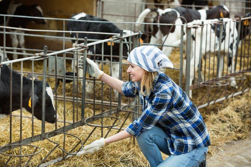 Coltivi la ragazza sorridente positiva che prende la cura del gregge dei vitelli fotografia stock