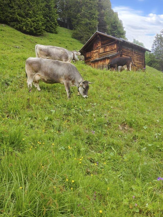 Coltivi le mucche che stanno pascenti l'erba nel giacimento della montagna del prato prima della capanna di legno del cottage del immagine stock