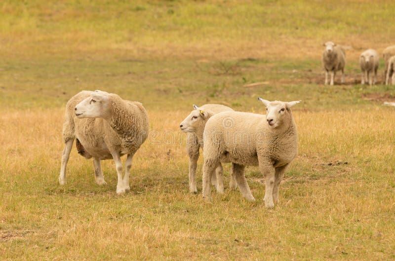 Coltivi le pecore sopra il campo di erba, fattoria degli animali della lana fotografie stock