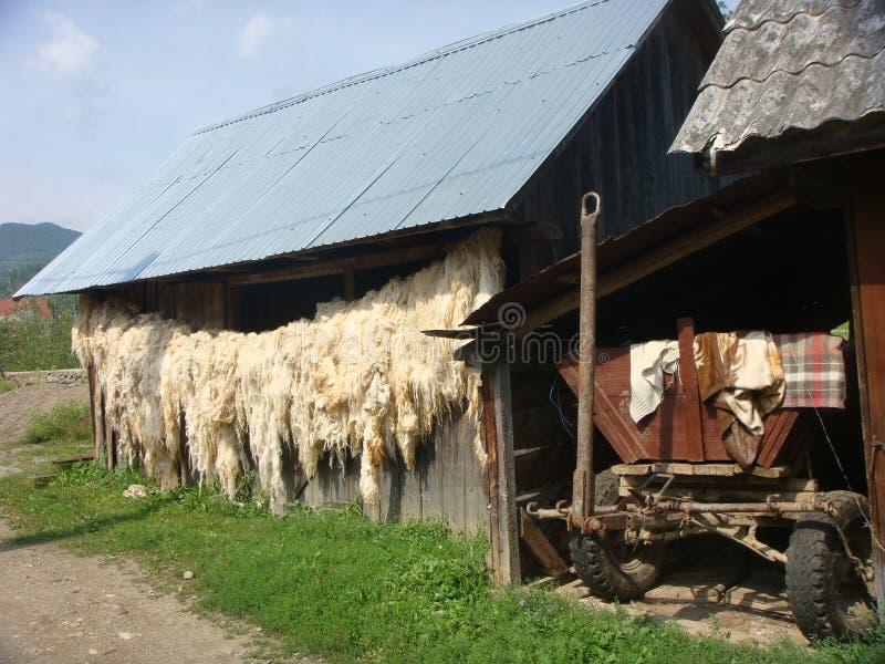 Coltivi in Romania con lana bianca della pecora che appende fotografie stock