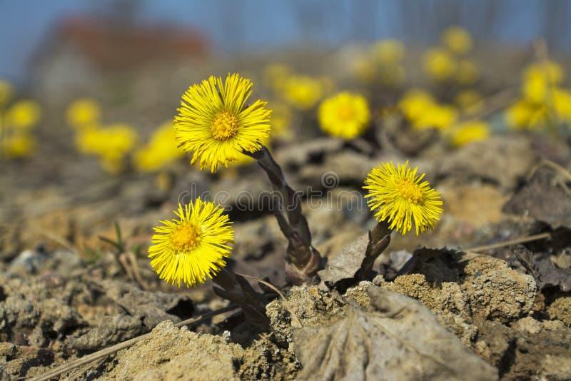 Coltsfoot, τα πρώτα κίτρινα λουλούδια άνοιξη στοκ φωτογραφία