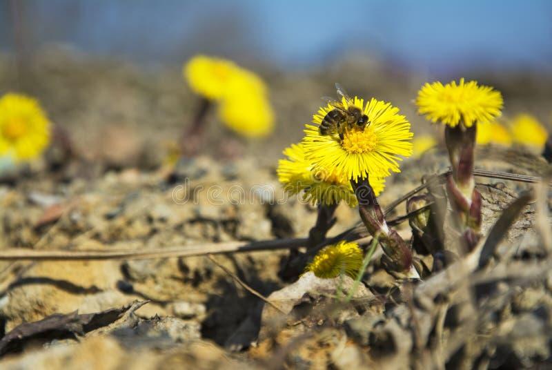 Coltsfoot, τα πρώτες κίτρινες λουλούδια και η μέλισσα άνοιξη στοκ εικόνα