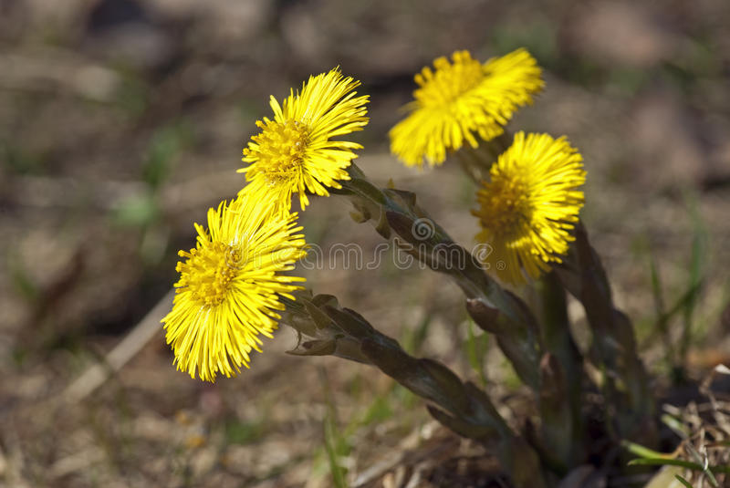 Coltsfoot photo libre de droits