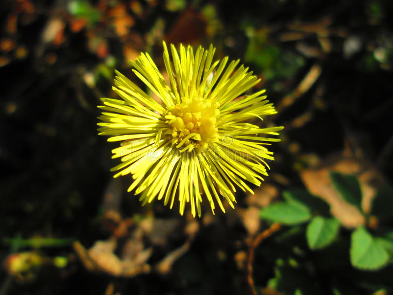 Coltsfoot foto de stock royalty free