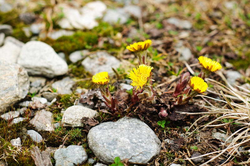 Coltsfoot de farfara- de Tussilago photographie stock