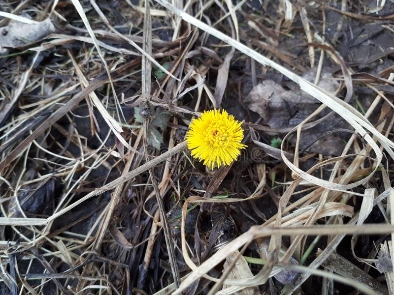 coltsfoot first spring flower royalty free stock photography