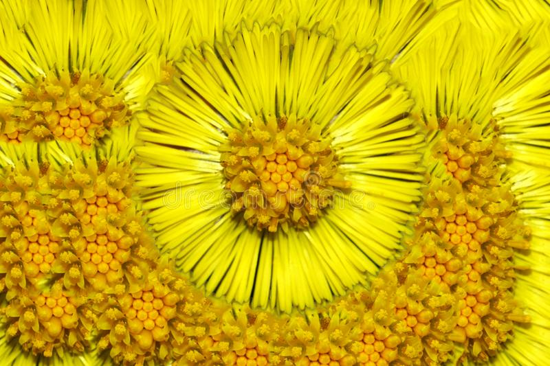 Coltsfoot flowering royalty free stock images
