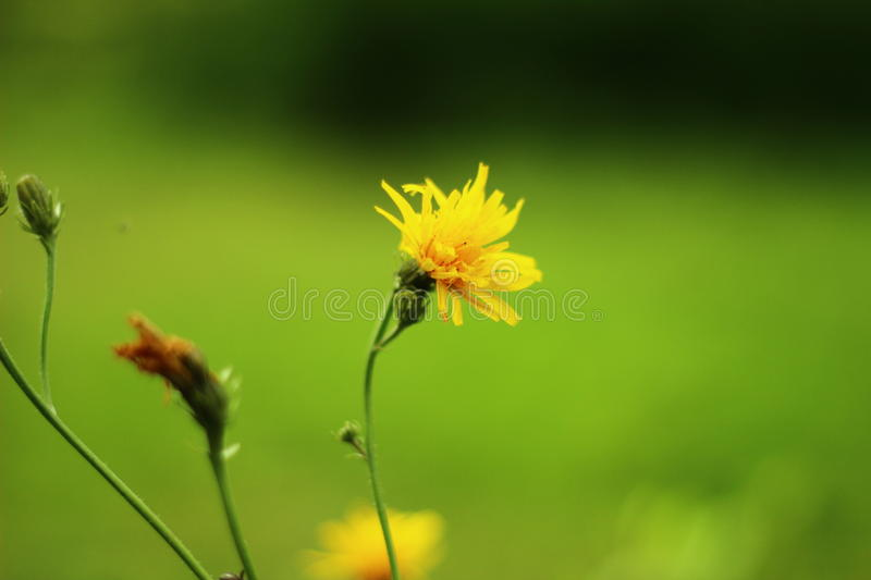 Coltsfoot royalty free stock image
