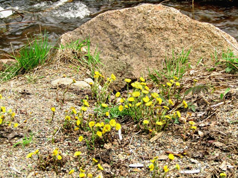 Coltsfootyello bloeit moeder en stiefmoeder grof aan de grond stock foto