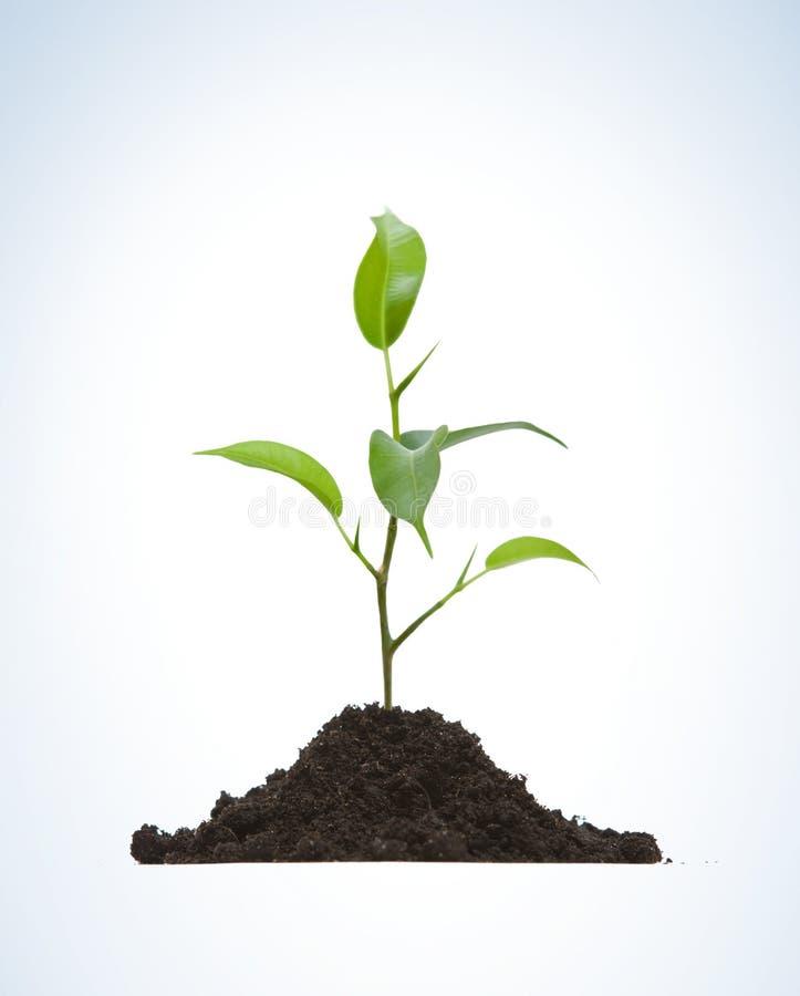 Coltura di una pianta giovane fotografie stock