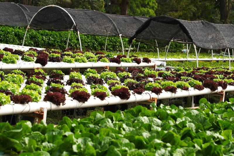 Coltura idroponica di verdure fotografia stock