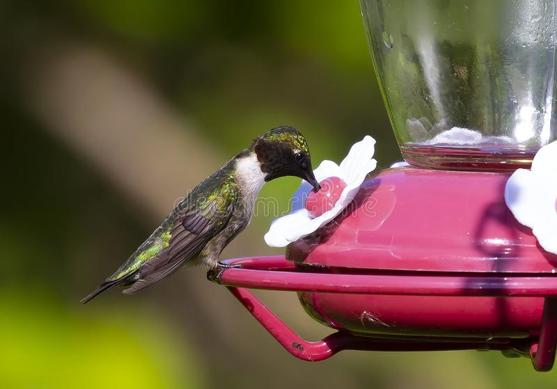 Colubris rubi-throated masculinos do Archilochus do colibri no alimentador, imagem de stock