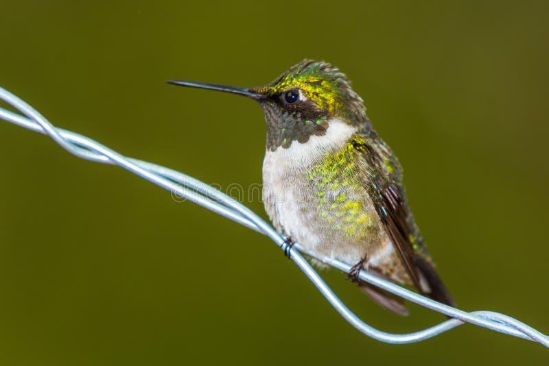 Colubris throated rouges d'Archilochus de colibri images stock
