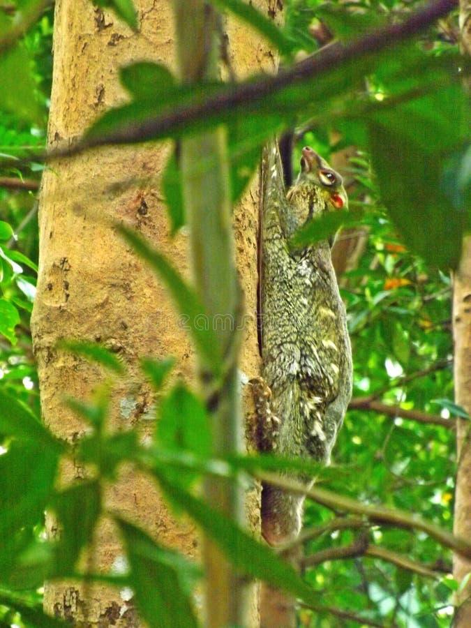 Colugo (lémur de vuelo malayo) fotografía de archivo libre de regalías