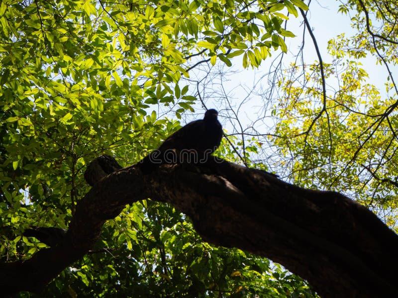 Columba Livia стоит на дереве, Бангкоке, Таиланде стоковые изображения rf