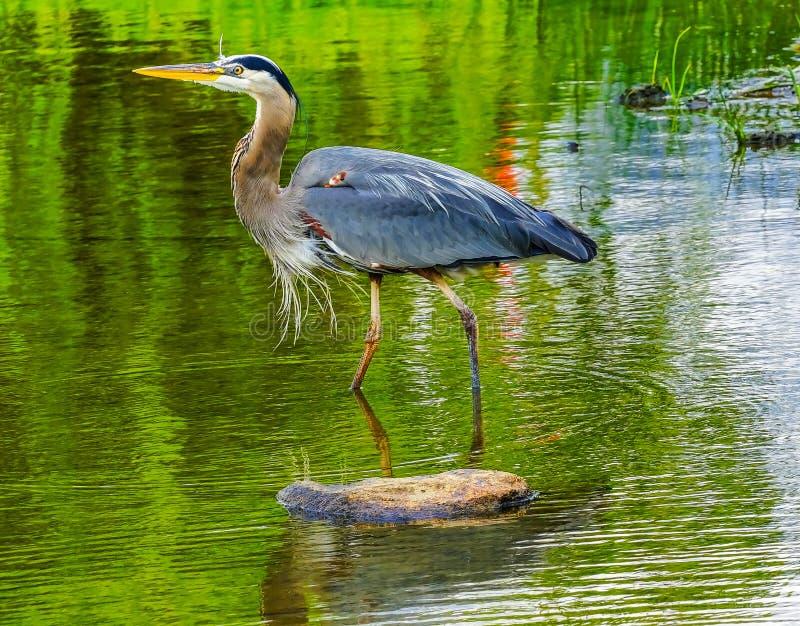 Columbia Britânica Canadá de Vancôver do parque de Vanier da lagoa da garça-real de grande azul foto de stock royalty free