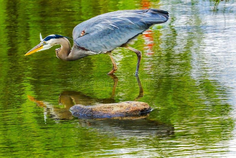 Columbia Britannica Canada di Vancouver del parco di Vanier dello stagno dell'airone di grande blu immagini stock