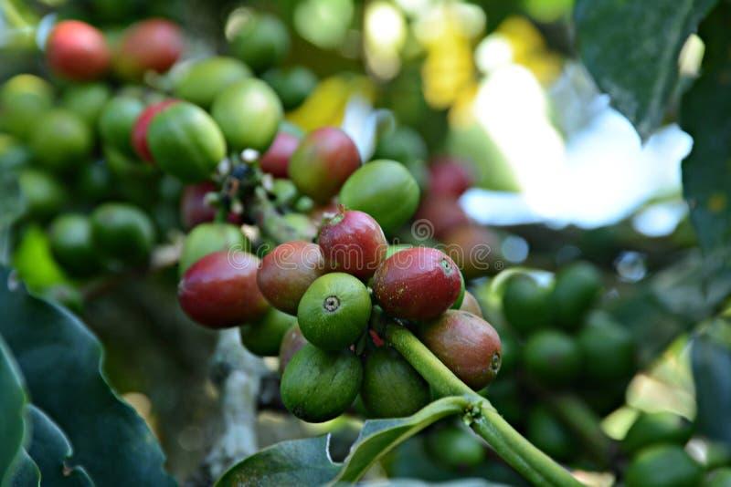 Columbiaanse koffiebonen stock afbeeldingen