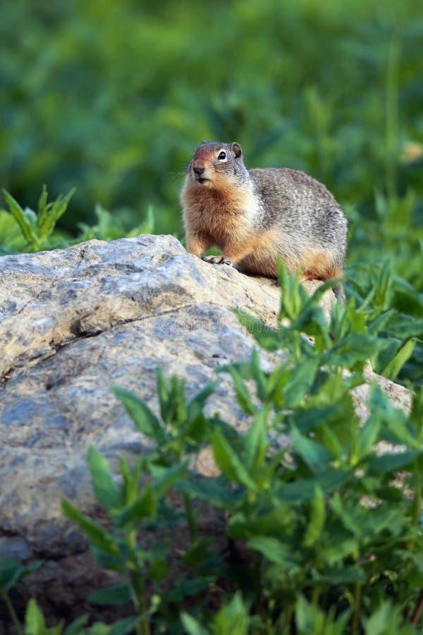 Columbian Ground Squirrel Stock Photo