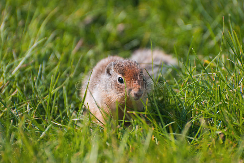 Download Columbian Ground Squirrel Stock Photography - Image: 26256192