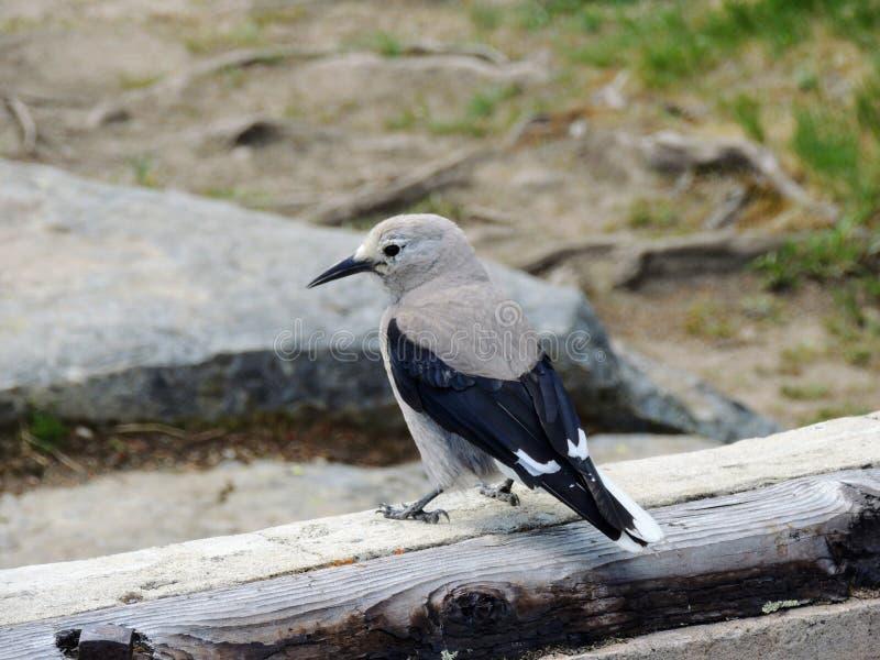 Columbiana Nucifraga Щелкунчика ` s Clark, иногда называемое ворона ` s Clark или ворона woodpecker, птица воробьинообразного стоковая фотография